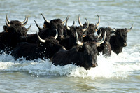 Black Bulls of Camargue
