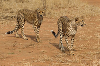 South African Cheetahs