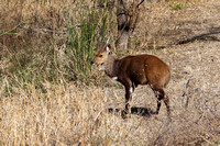 Male African Bushbuck