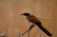 Coucal, Burchell's