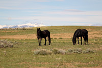 Wild Mustangs of McCullough Peak Wyoming