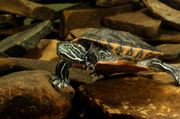 Turtle, Red Belly