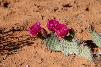 Red flowering prickly pear cactus