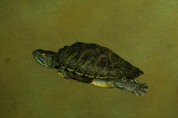 Turtle, Red Eared Slider