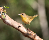 Warbler, Common Yellowthroat Female