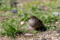 MAle Golden-crowned sparrow (Zonotrichia atricapilla)