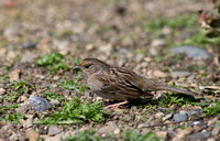 Female Golden-crowned sparrow (Zonotrichia atricapilla)