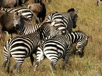 Common Zebra in the Maasai mara grasslands