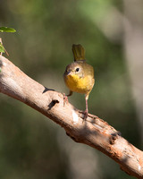 Warbler, Common Yellowthroat