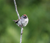 Sparrow, Swamp (Melospiza georgiana)
