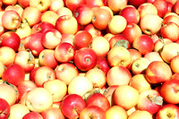 Bulk freshly harvested apples