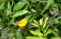 Warbler, Yellow (Setophaga petechia)