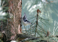 Nuthatch, White-Breasted (Sitta carolinensis)