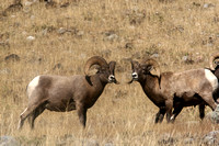 Big Horn Sheep in Yellowstone