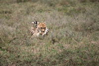 Male Cheetah with baby Grant's Gazelle