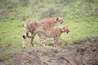 Mother Cheetah and young