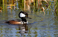 Duck, Hooded Merganser. Male