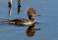 Duck, Hooded Merganser. Female