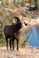Big Horn Sheep in Jasper National Park