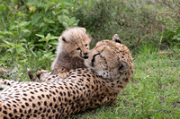 Cheetah mom with cubs