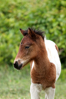 Two week old foal on Assateague Island