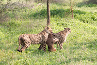 Cheetah brothers with kill