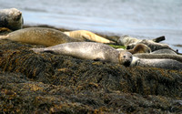 Grey Seal -- Gull Island off coast of Maine