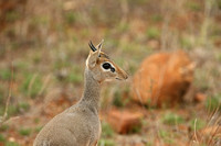 Kirk's Dik-Dik in Samburu National Reserve