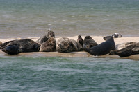 Grey Seal  --  Chatham MA