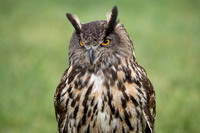 European or Eurasian Eagle Owl