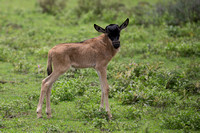 Baby Male Wildebeest