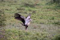 Secretary Bird dancing