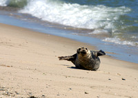 Grey Seal on South Monomoy Island