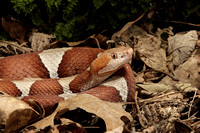 Copperhead, Broad Banded
