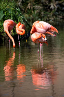 American Greater Flamingos