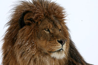 Barbary Lion (captive)