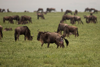 The birthing plains in the Ngorongoro Conservation Area