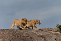 Lioness and cubs on Gol Kopjes