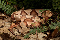 Copperhead, Southern