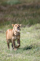 Lioness carrying cub to safety of Kopje
