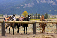 Horses of Yellowstone National Park