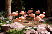Chilean Flamingo (captive)