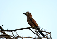 Roller, Rufous-crowned