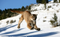 Mountain Lion (captive)