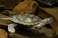 Turtle, Black-knobbed Sawback