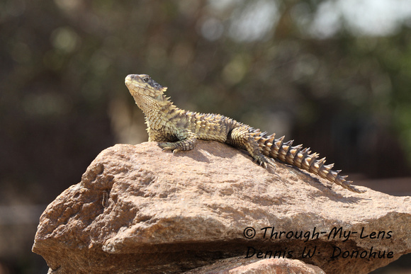 South African Sungazer Lizard