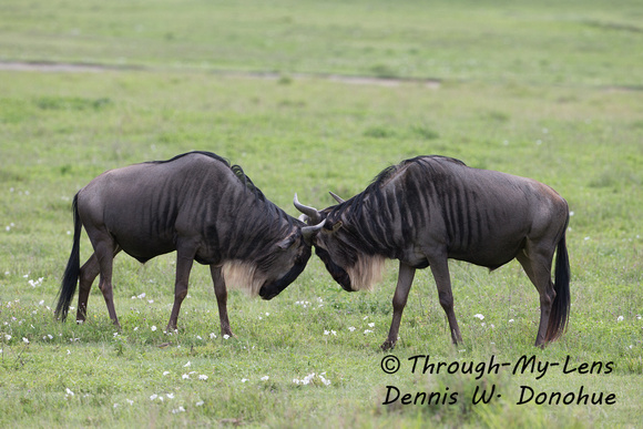 Fighting Wildebeest