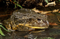 African Burrowing Frog