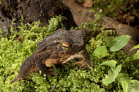 Asian Giant Toad (Bufo asper)