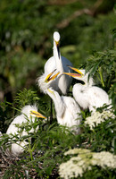 Great Egrets with young
